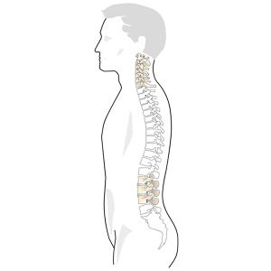 spinal-column-fw